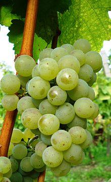 Silvaner druif